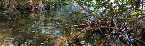 Mangroves tress